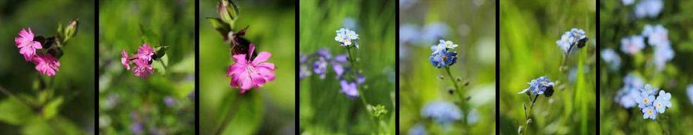 Plantes et fleurs sauvages de Pixiflore