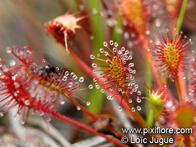 Drosera plante carnivore
