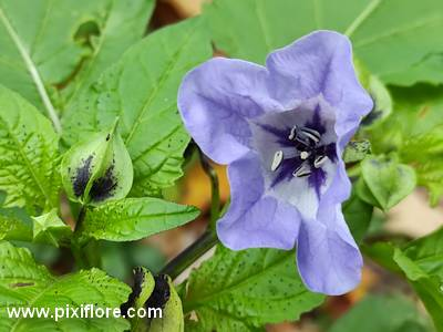 Le nicandre (Nicandra physalodes)